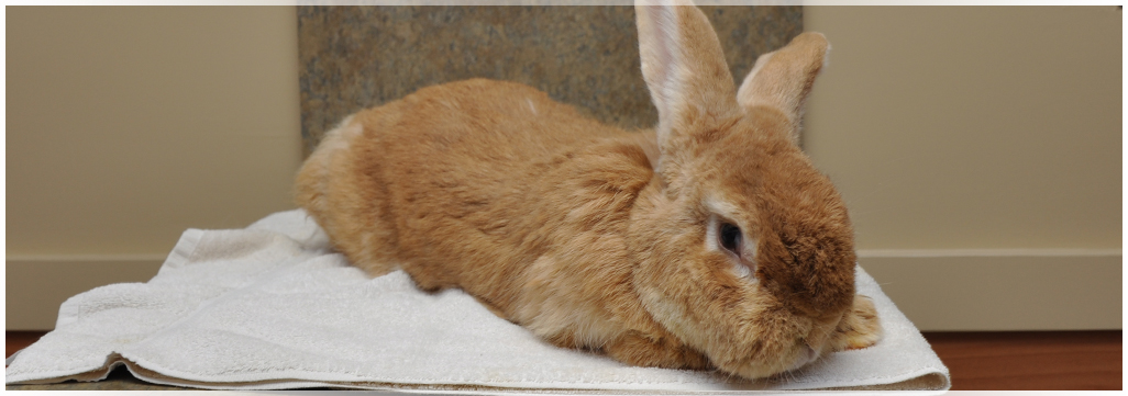 Rabbits and Pocket Pet care at Wantagh Animal Hospital