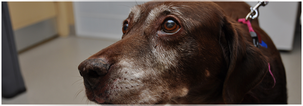 Senior Canine care at Wantagh Animal Hospital